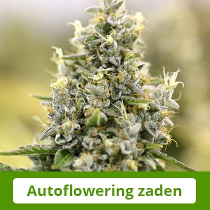 Autoflowering Zaden van Barney's Farm - Gemakkelijk te telen, snel te oogsten
