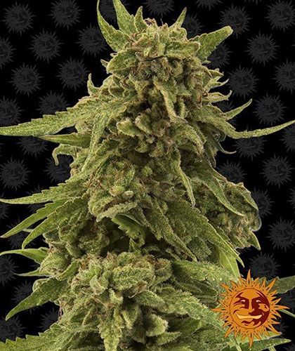 CBD Critical Cure van Barneys Farm
