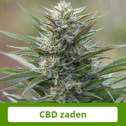 CBD Zaden van Barney's Farm - Zacht en evenwichtig effect, therapeutisch potentieel