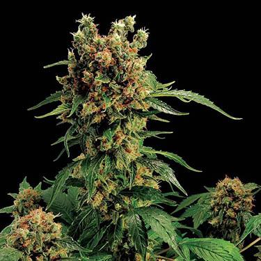 medicinale cannabis slapen nachtrust