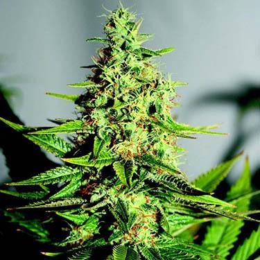 cannabis tegen pijn