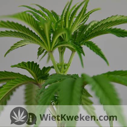 Opbrengst wietplant