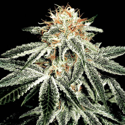White Widow van Green House Seeds