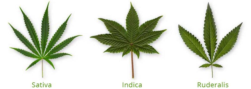 De bladeren van de cannabis Sativa, Indica en Runderalis.