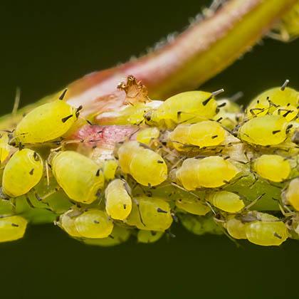 Afbeeldingsresultaat voor bladluis