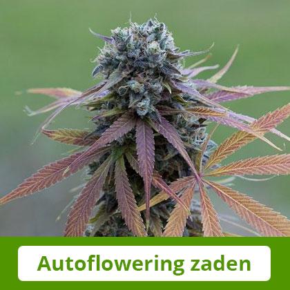 Dinafem autoflowering zaden - Gemakkelijk te telen, snel te oogsten