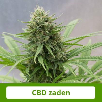 Dinafem CBD zaden - Zacht en evenwichtig effect, therapeutisch potentieel