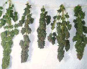 Drogen van wiet: het ophangen van de toppen om de wiet te laten drogen.