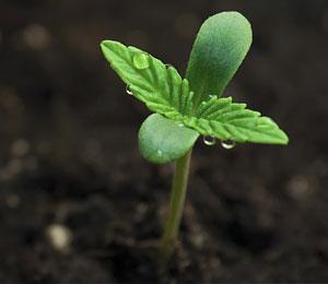 Groeien en bloeien van je wietplant