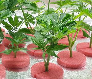 Een wietplant kopen is verboden