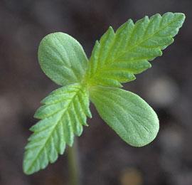 Een klein wietplantje na het ontkiemen.