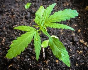 Wiet kweken op aarde.