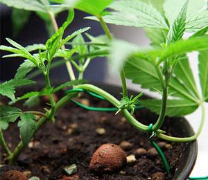 LST houdt in dat je je wietplantje vanaf zaailing plat laat groeien.