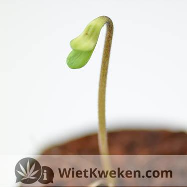 zaailing wietplantje ontkiemt