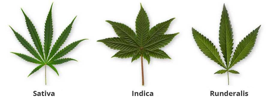 Het blad van de sativa, indica en runderalis soorten