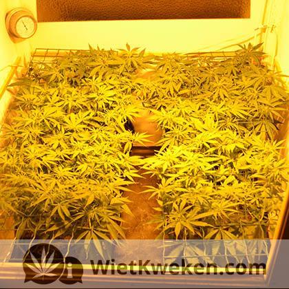wietplant scroggen