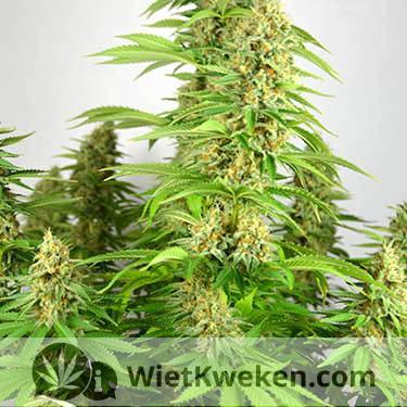 wietplant silver haze oogstrijp