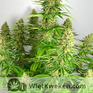 Super silver haze wietplant