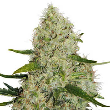 dutch passion think big autoflower
