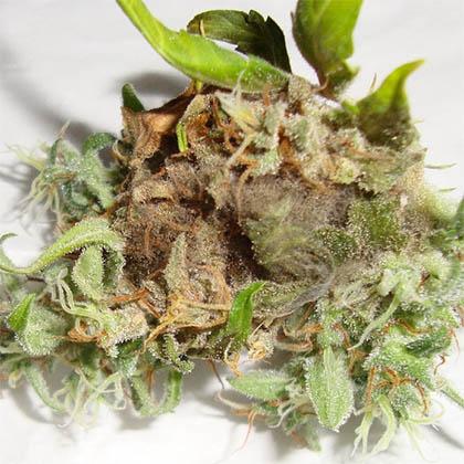 toprot-wietplant-top