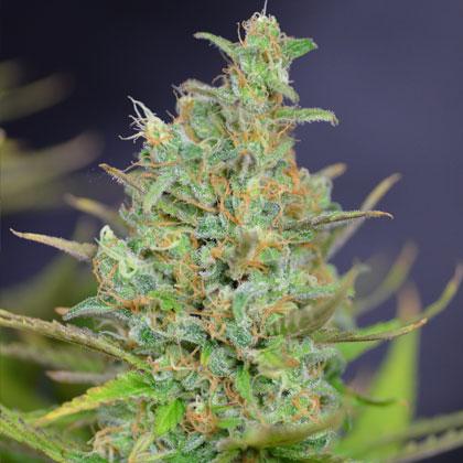 White Widow wietplant
