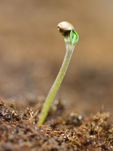 Een zaailing (jong wietplantje) van de white widow