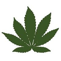 indica wietplant