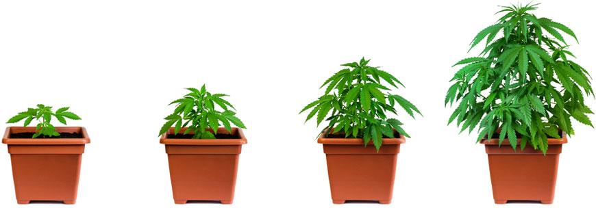 Wietplant groeiperiode verloop