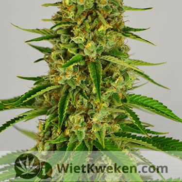 silver haze close up bloeiperiode wiet