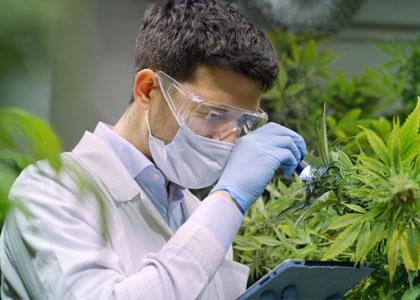 Wietplantage voor medicinale cannabis