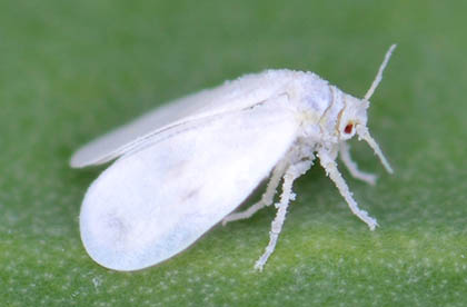witte vlieg wietplant