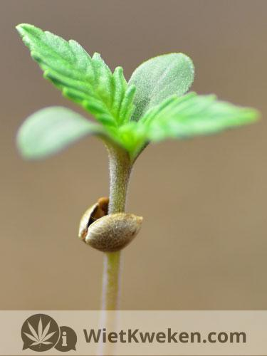 Zaailing Amnesia Haze plantje